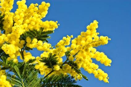 Closeup of ball shaped Mimosa flowers