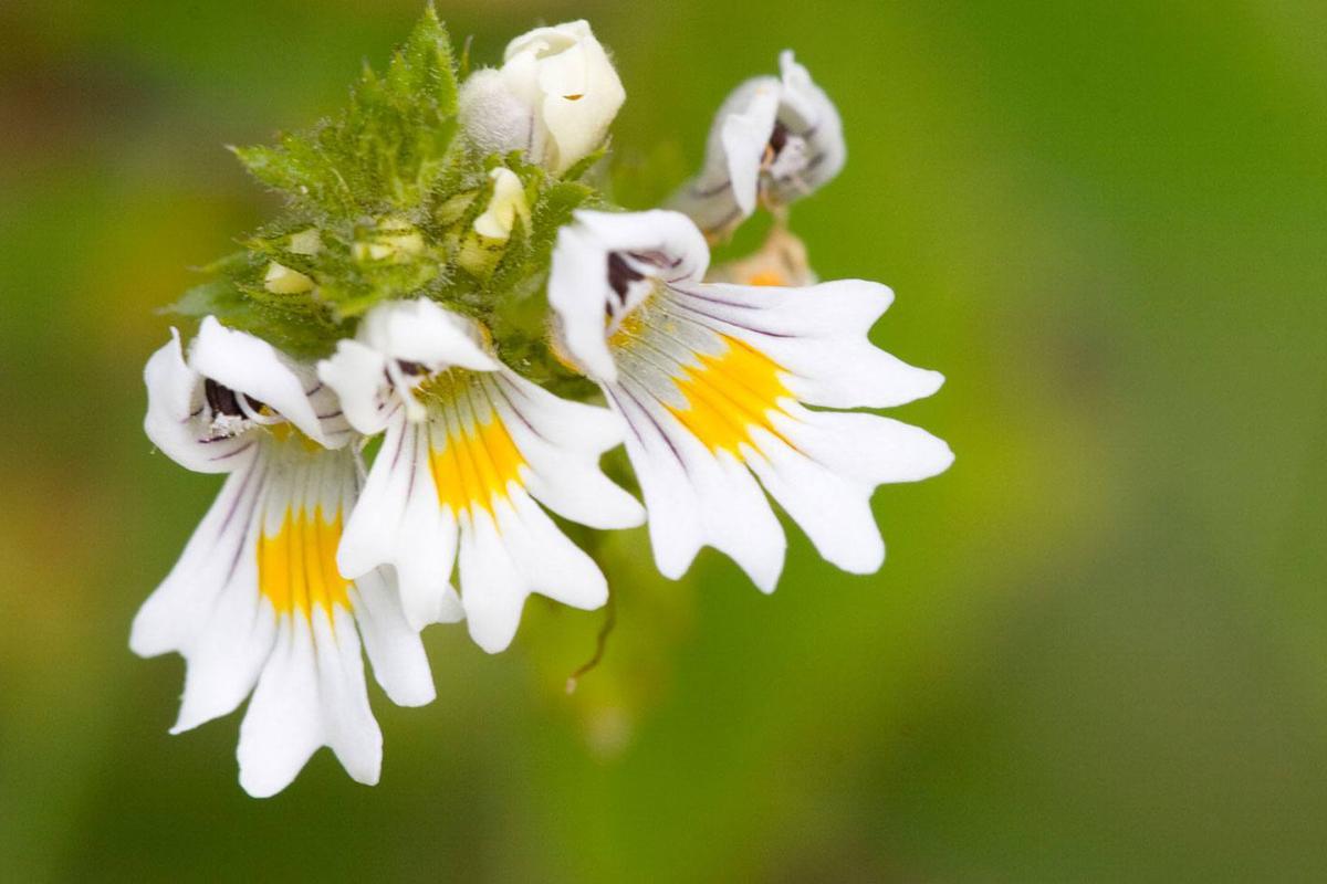 L'Euphraise, petite fleur de la fin d'été favorisant l'écoute de l'autre et l'ouverture au monde