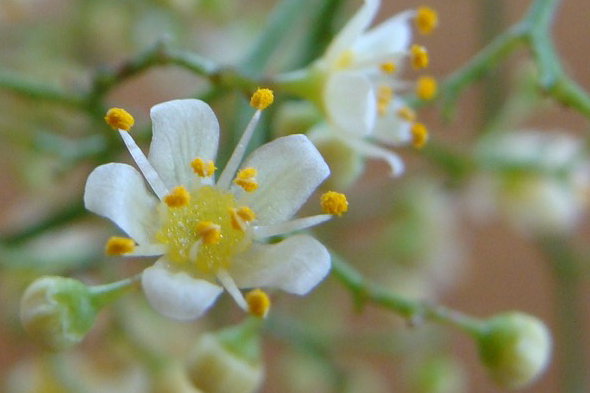 L'arbre du Pérou et son élixir floral
