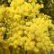 Le Mimosa, symbole de lumière et d'ouverture